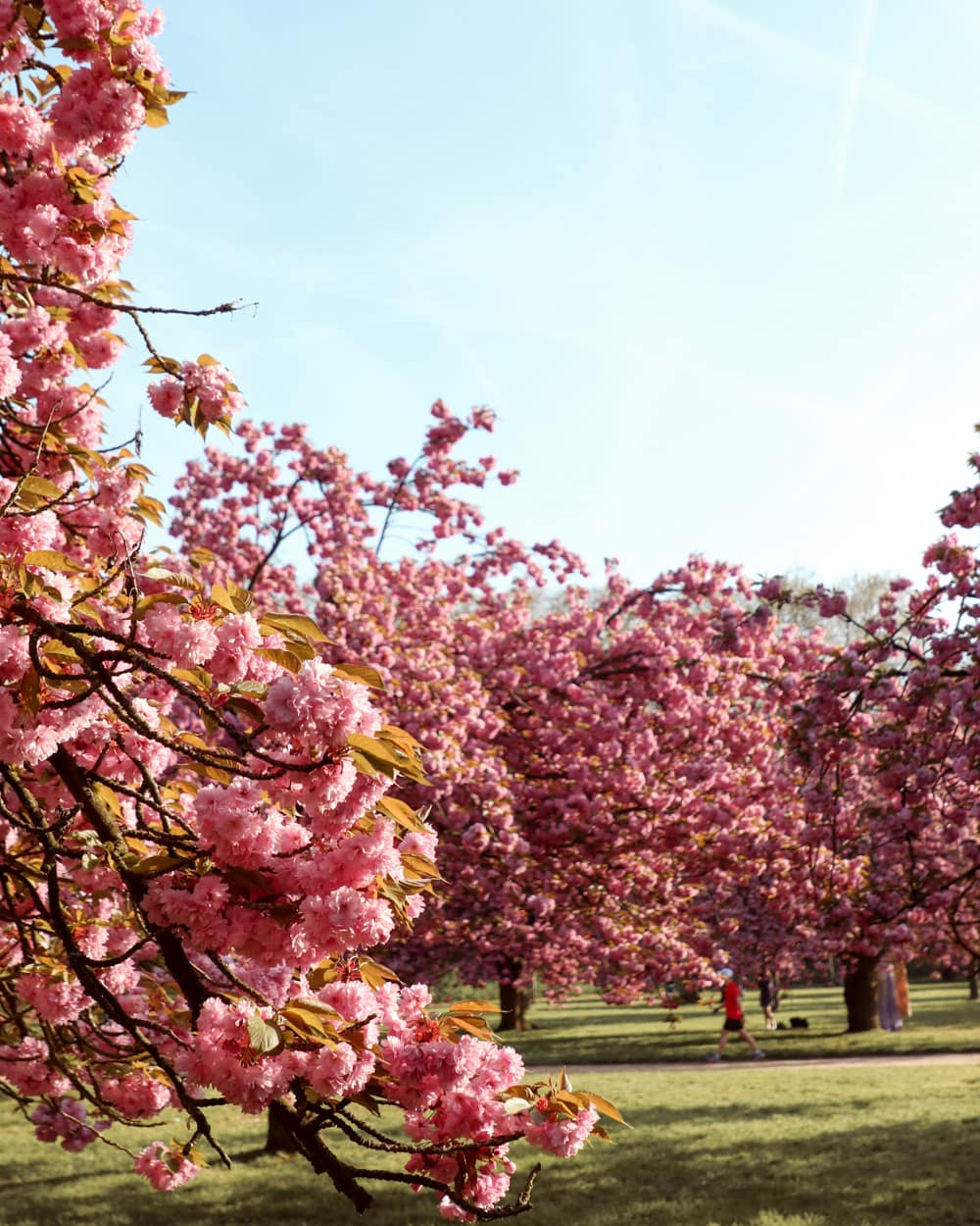 Where to find Cherry Blossoms in Paris